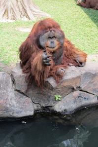 Simpanse gondrong kembaran Papa Krewel