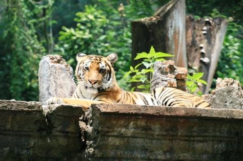 Harimau bertampang garang