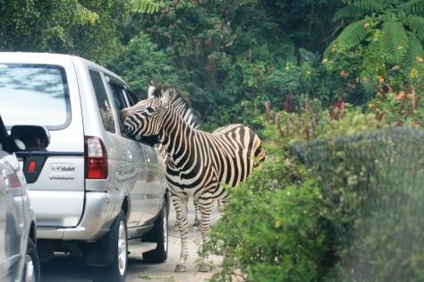 Zebra yang lagi lunguk-lunguk di jendela mobil depan