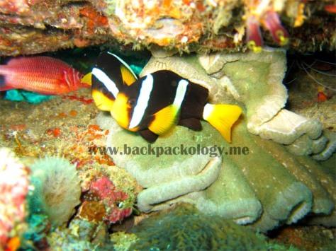 Anemon fish atau nemo ini mudah ditemukan di Kinabalu dan divespot lain di Indonesia