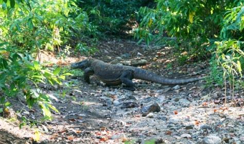 Komodo yang kebetulan lewat di dekat jalan setapak, benar-benar keberuntungan bagi saya