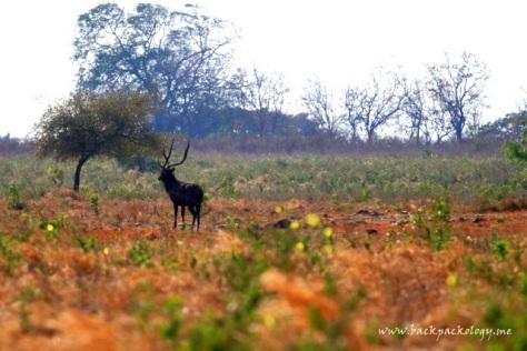 Seekor rusa liar menerawang jauh di savana TN Baluran
