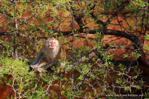 Model saya kali ini, seekor monyet yang menatap tajam di dekat gardu pandang Bekol, TN Baluran