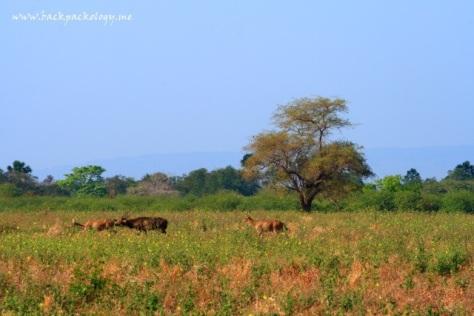 Gerombolan kerbau dan rusa liar memulai hari di TN Baluran