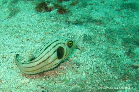 Ikan buntal alias puffer fish yang bisa menjadi balon kalau merasa terancam