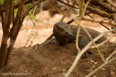 Komodo liar tak jauh dari sarangnya