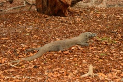 Komodo leyeh-leyeh di atas daun-daun yang berguguran