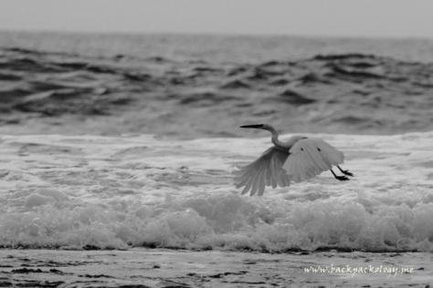 Seekor burung camar sedang mengepakkan sayapnya melintasi deburan ombak Sawarna