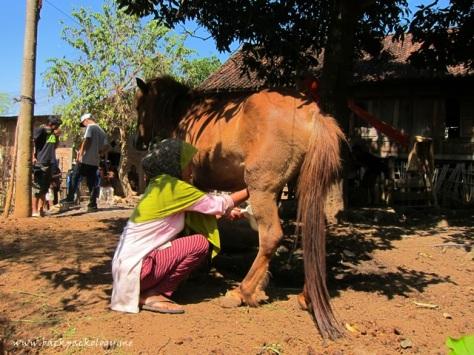 """Seorang ibu memerah susu dari kuda """"liar"""" miliknya... terlihat jelas kaki kuda yang sangat berotot"""