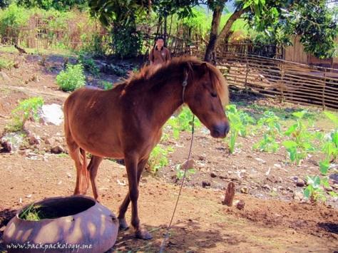 "Kuda ""liar"" yang sebenarnya kuda peliharaan warga, kali ini ditambat di halaman rumah demi Sahabat Petualang yang mau datang"