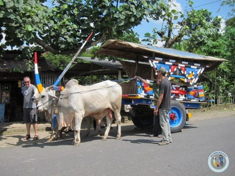 Hari itu, si sapi jadi idola para wisatawan