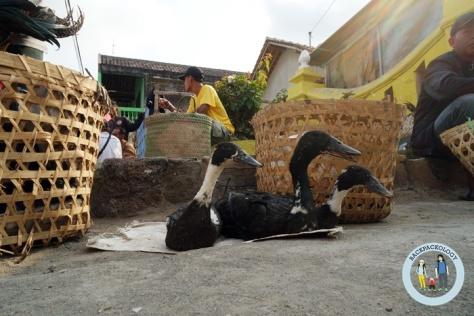 Bebek-bebek ikut majang menjajakan dirinya di Pasar Hewan Godean
