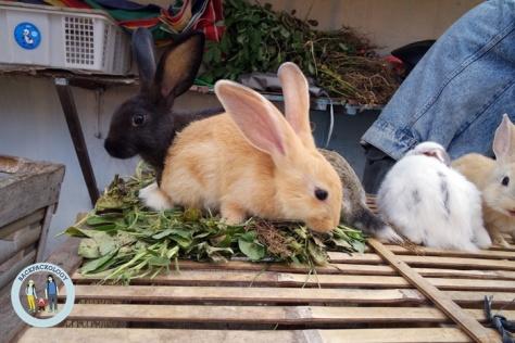 Trewelu alias kelinci lucu ini juga bisa didapati di Pasar Hewan Godean